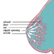 Acupuncture Enhances Lactation